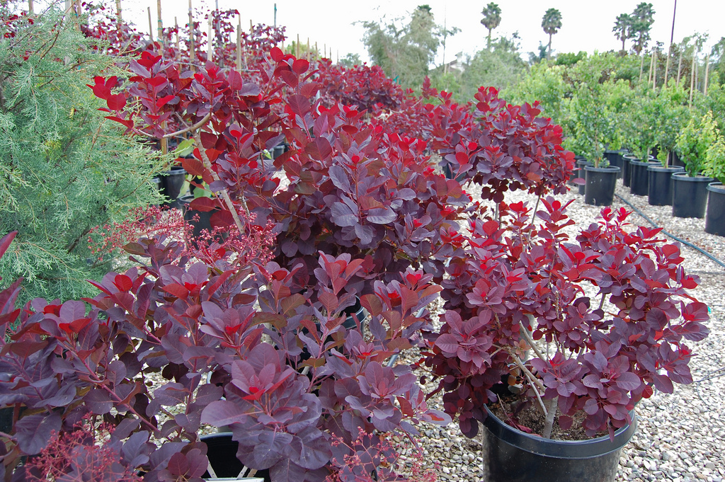 cotinus coggygria 39 royal purple 39 plants direct. Black Bedroom Furniture Sets. Home Design Ideas