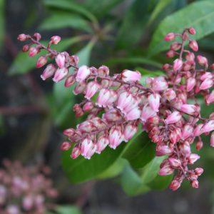 Pieris japonica 'Valley Rose'
