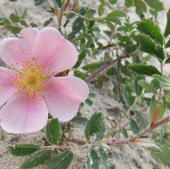Rosa woodsii | Plants Direct