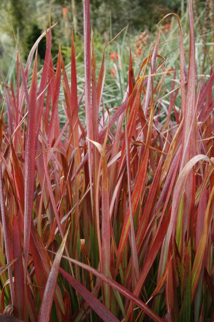 Ornamental Grasses Victoria Bc : Imperata cylindrica red baron plants direct victoria bc