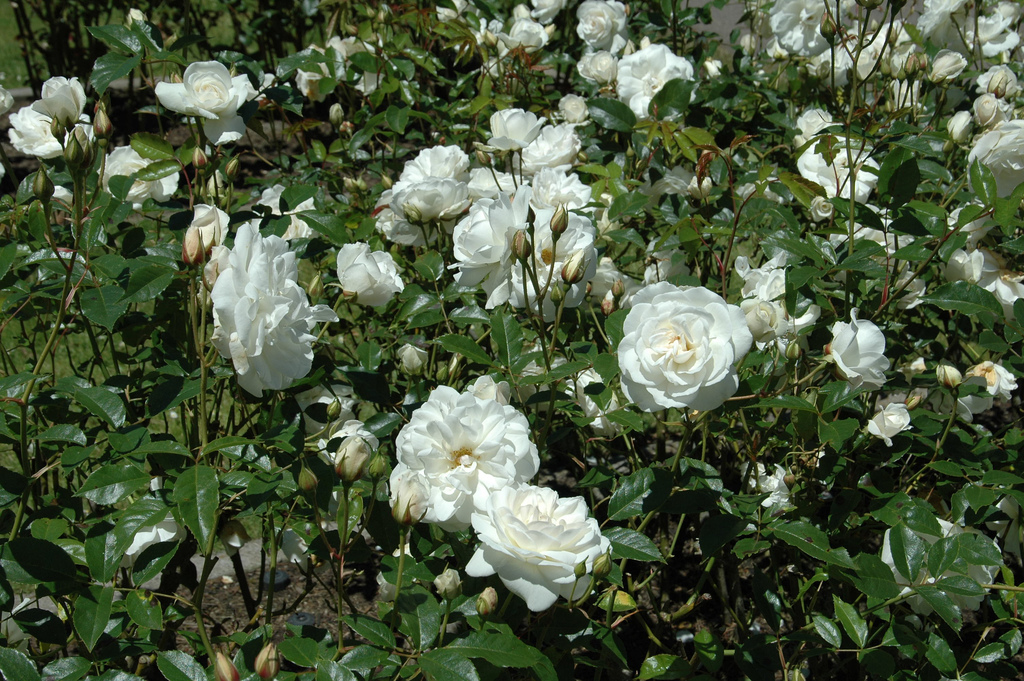 Picture of Live Rose (groundcover,White) aka Rosa Meidiland(R) White Plant Fit 1 Gallon Pot