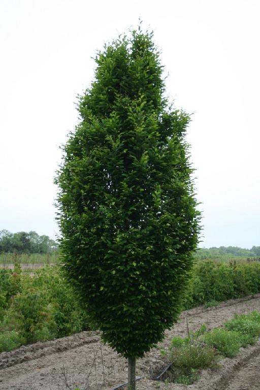 carpinus betulus 39 fastigiata 39 plants direct victoria bc. Black Bedroom Furniture Sets. Home Design Ideas
