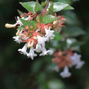 Abelia x gradiflora
