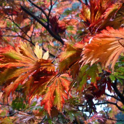 Acer japonica 'Aconitifolium'