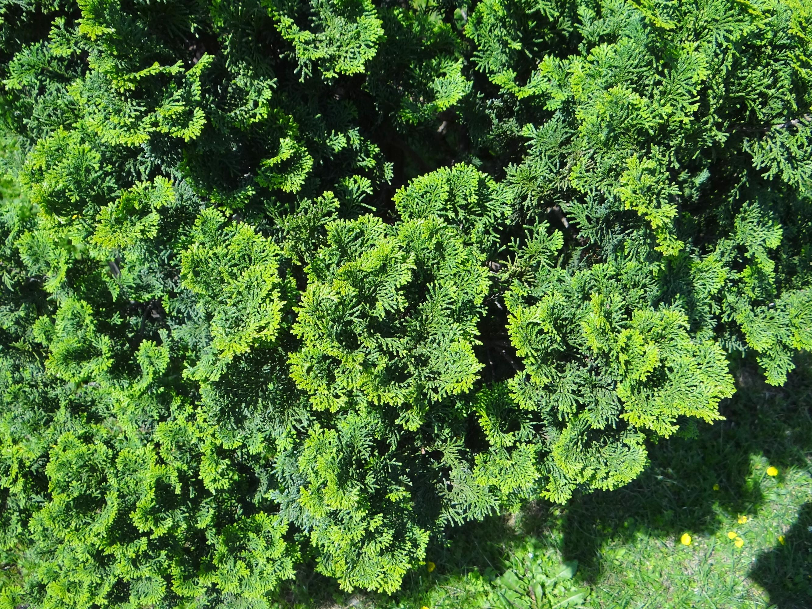 chamaecyparis obtusa 39 nana gracilis plants direct. Black Bedroom Furniture Sets. Home Design Ideas