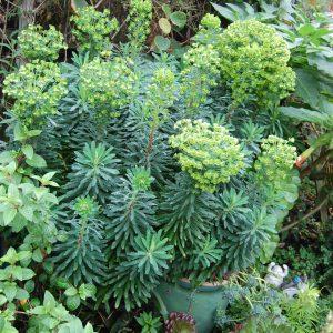 Euphorbia 'Wulfenii'