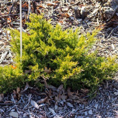 Juniperus (Juniper)