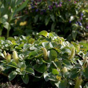 Salix nakamurana var yezoalpina