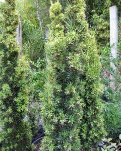 Taxus baccata 'Fastigiata Aurea'
