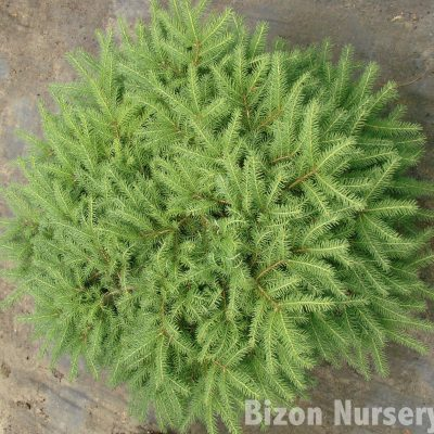 Picea (Spruce)